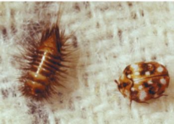 carpet beetle -ASM pest control