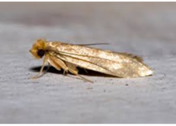 common cloth moth -ASM pest control