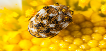 Tips to get rid of Carpet Beetle