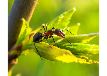 Ant Removal - ASM Pest Control